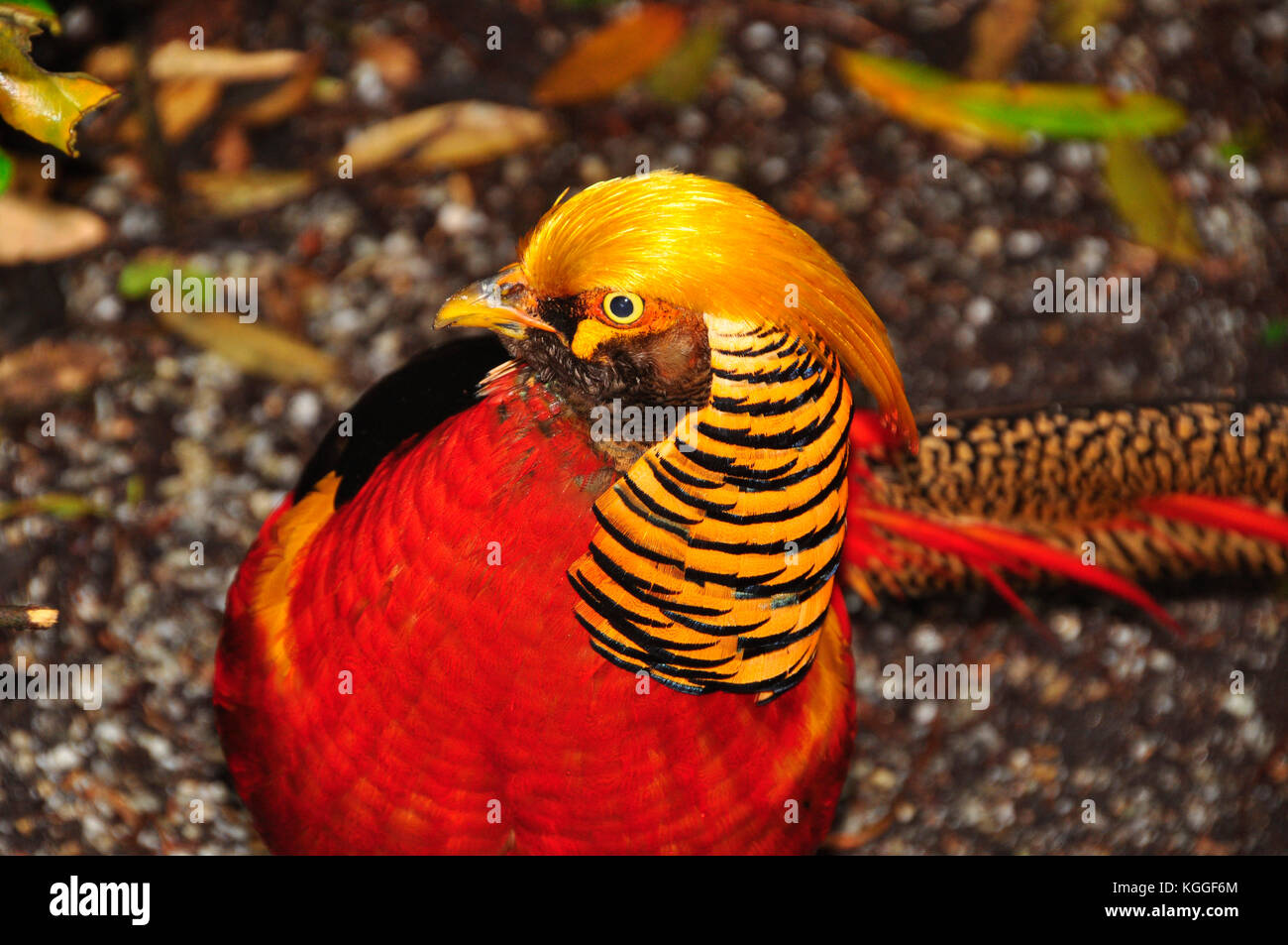 The golden pheasant or Chinese pheasant 'Chrysolophus pictus' on Tresco, Isles of Scilly. Known locally - Stock Image