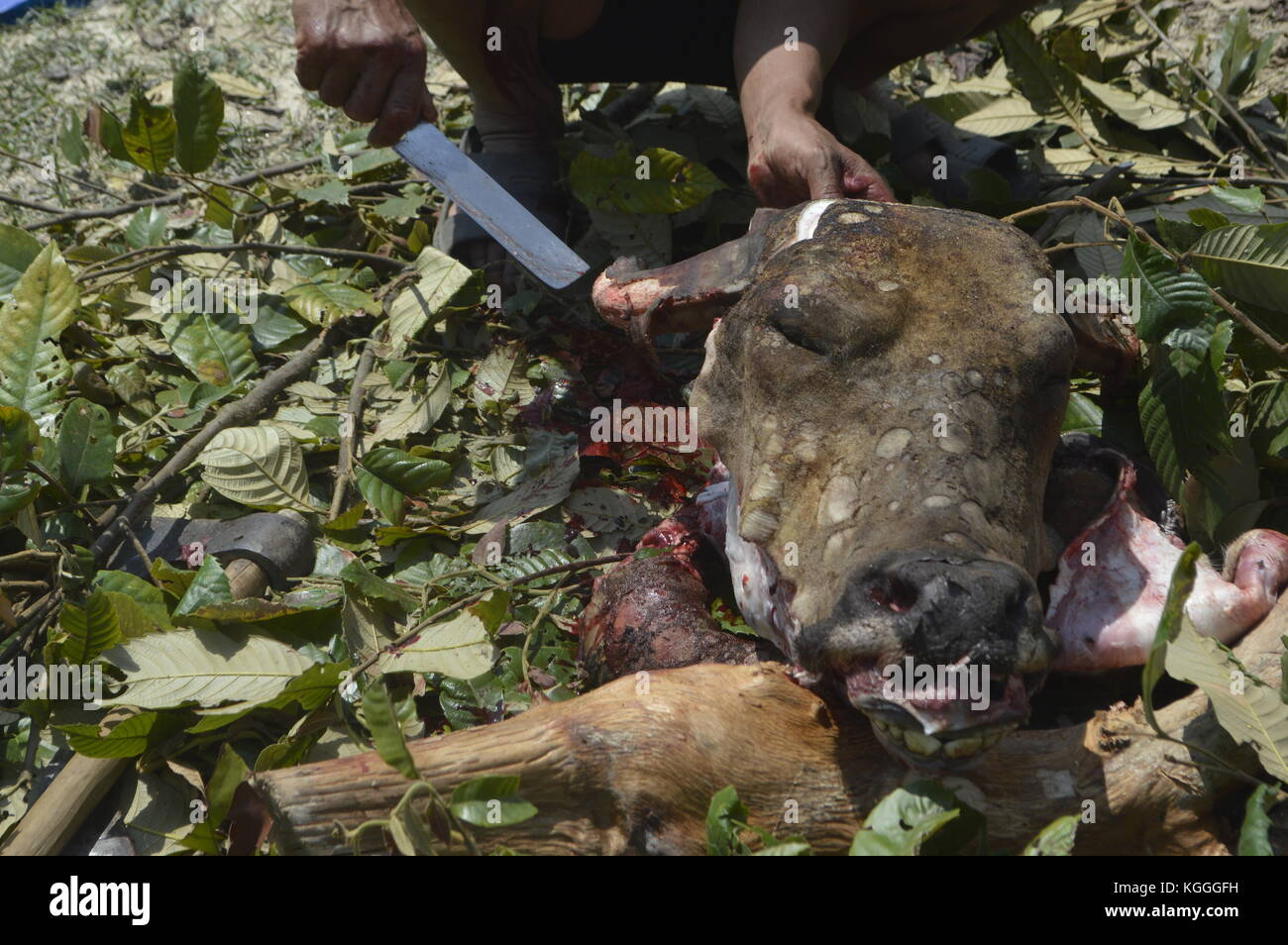 Slaughtering of water buffalo in small Nepali village in Humane way. Killed with 3 hits of the unsharp side of an - Stock Image