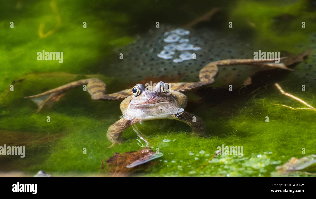 A frog sits guarding some frogspawn in a garden pond. Stock Photo