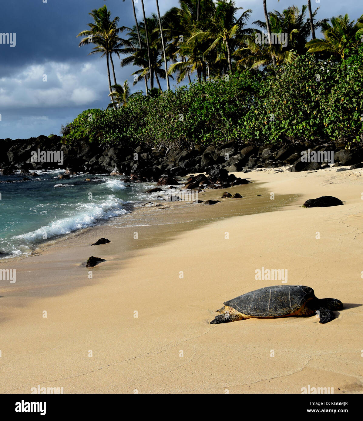 Hawaiian Sea Turtles - Laniakea Beach, Oahu, Hawaii - Stock Image
