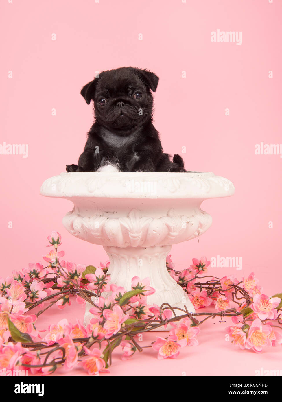 Cute black pug puppy in a white flowerpot with pink flowers on a pink background - Stock Image