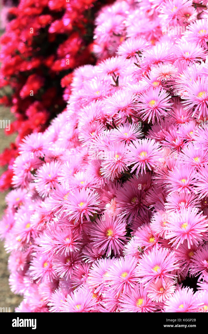 Pink and red Pig face flowers or Mesembryanthemum, ice plant flowers, Livingstone Daisies in full bloom - Stock Image