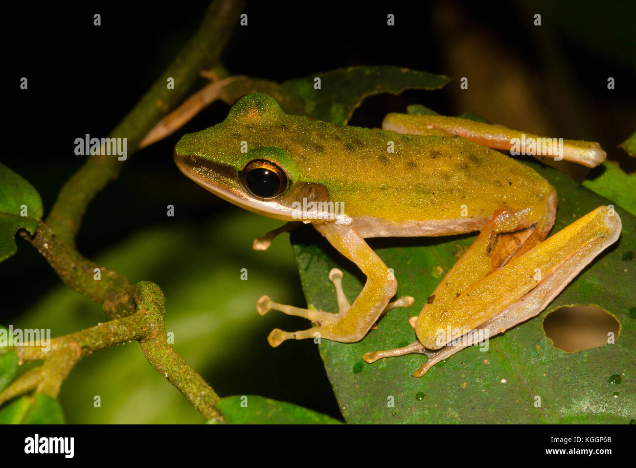 Large White-Lipped Frog, Chalcorana (Hylarana) megalonesa, is small frog from the family Ranidae, living in rainforests - Stock Image