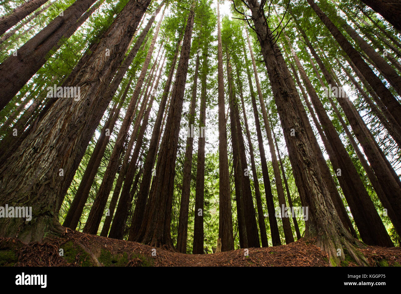 The photo was taken in the Californian Redwood Forest in the Otways National Park, Victoria. - Stock Image