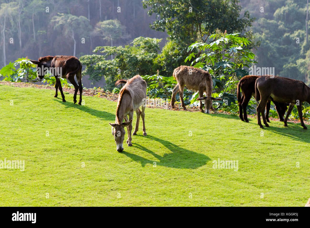 Donkeys grazing - Stock Image