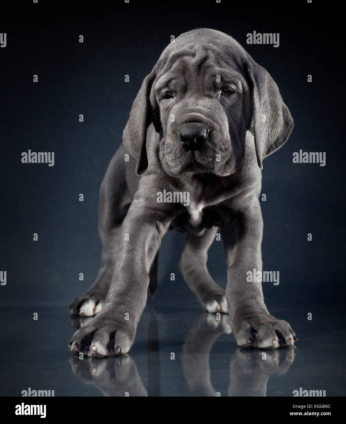 Great Dane Puppy Purebred Standing On A Dark Background Stock Photo Alamy