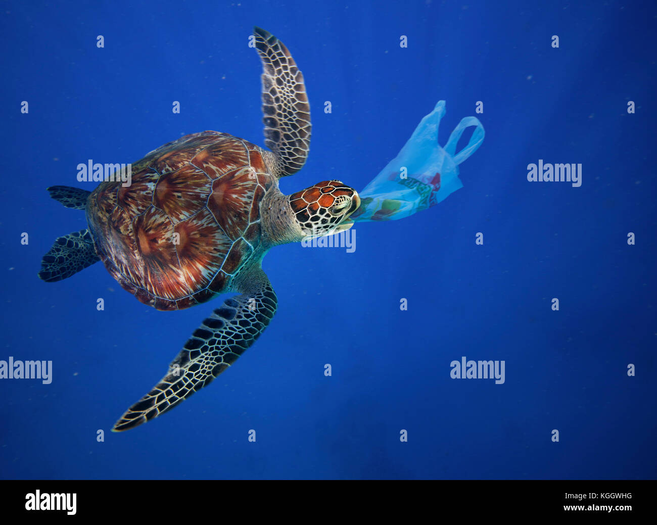 Sea turtle eating plastic bag. Plastic bags and other plastic garbage are often ingested by marine animals confusing - Stock Image