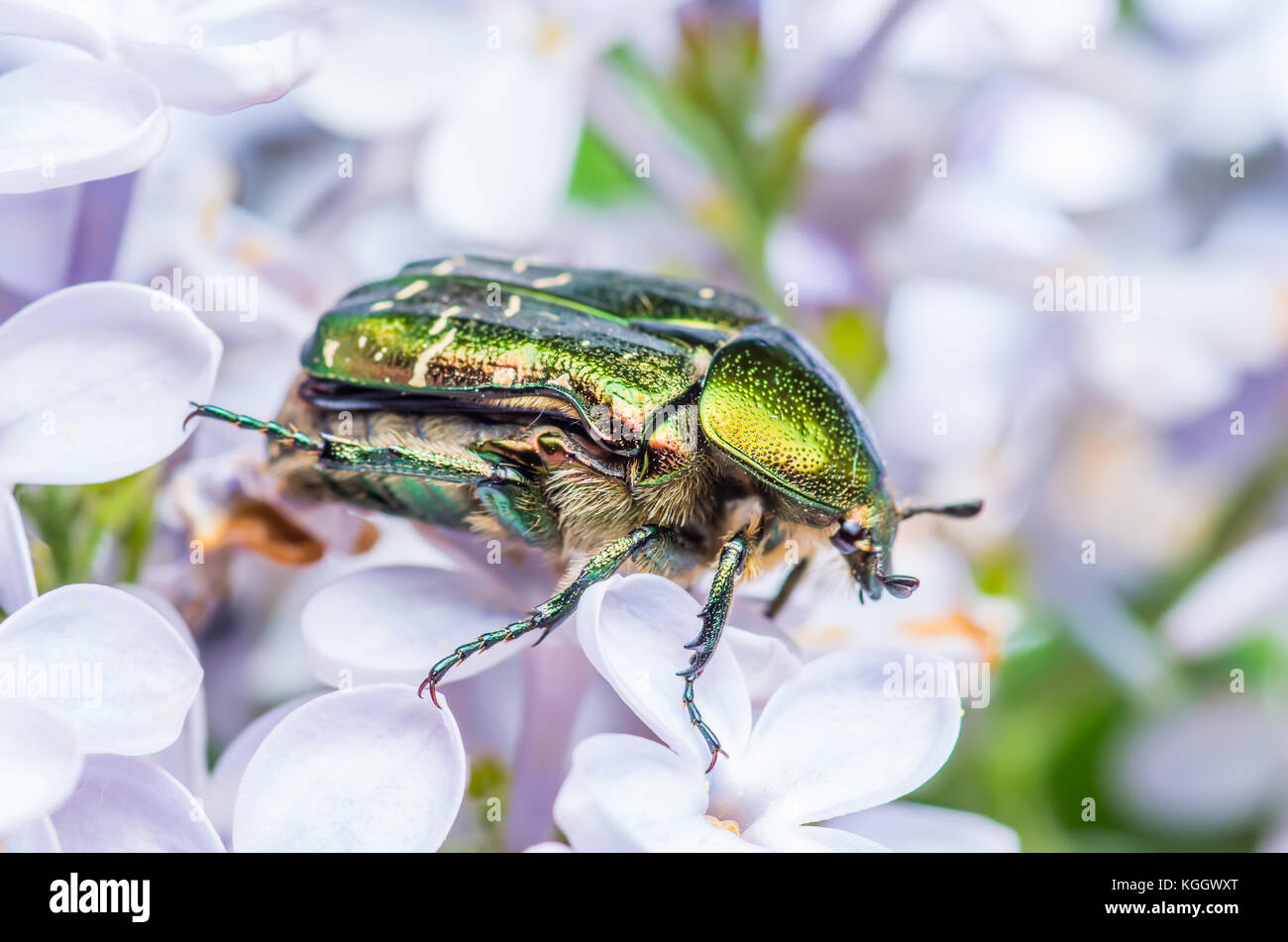 Cetonia Aurata Flower Chafer Green June Beetle Bug Insect Macro - Stock Image