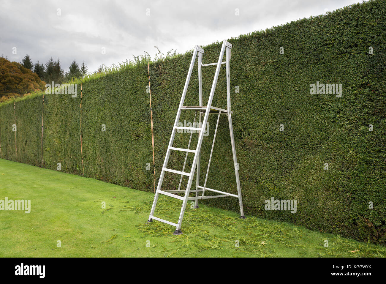 Step ladder in place with height marking canes for trimming a tall yew hedge in Devon UK - Stock Image