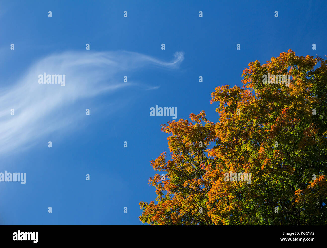 Long wispy cloud in blue sky. Autumnal colors. Tall maple tree. Abstract. - Stock Image