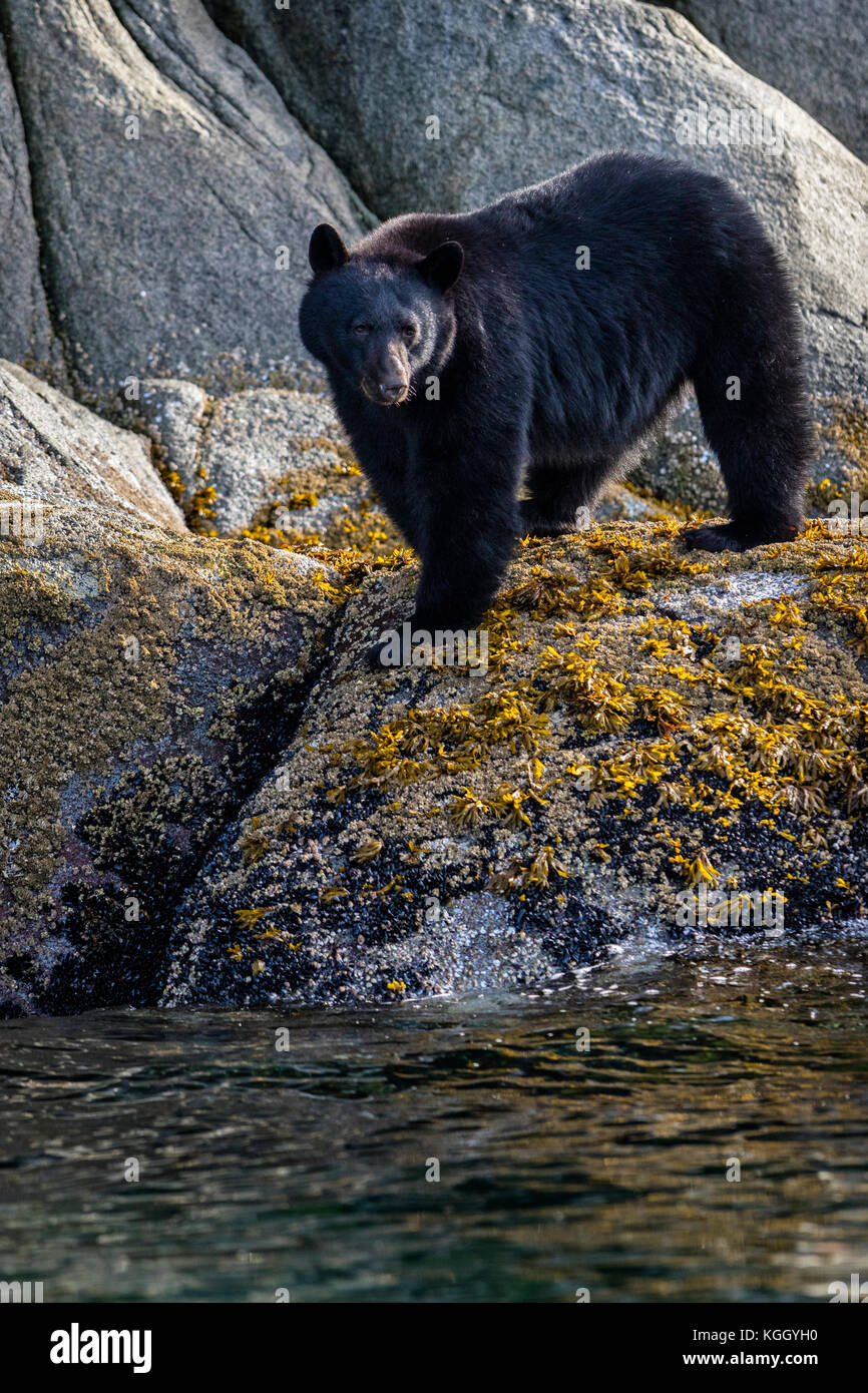 Black bear (Ursus americanus) standing along a cliff at low tide in Knight Inlet, beautiful British Columbia, Canada. Stock Photo