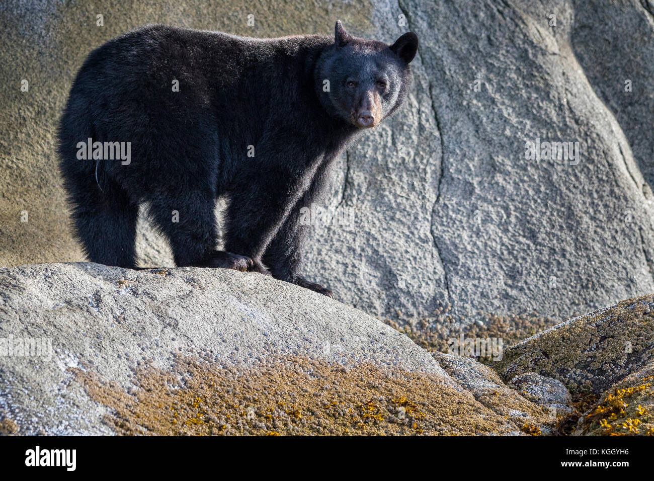 Black bear (Ursus americanus) standing along a cliff at low tide in Knight Inlet, beautiful British Columbia, Canada. - Stock Image
