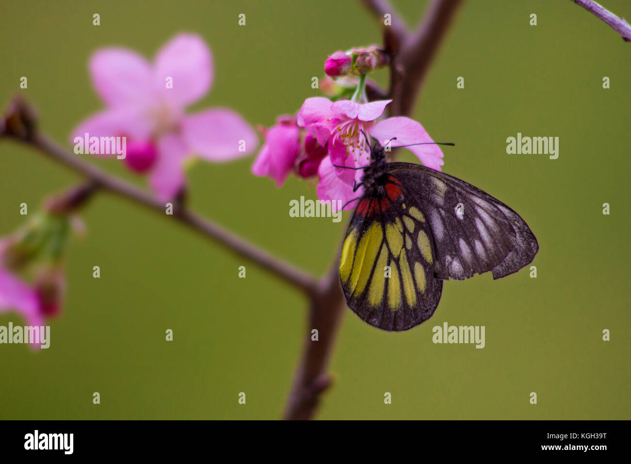 Perched on peach blossom, a butterfly sips nectar and pollinates the flowers. - Stock Image