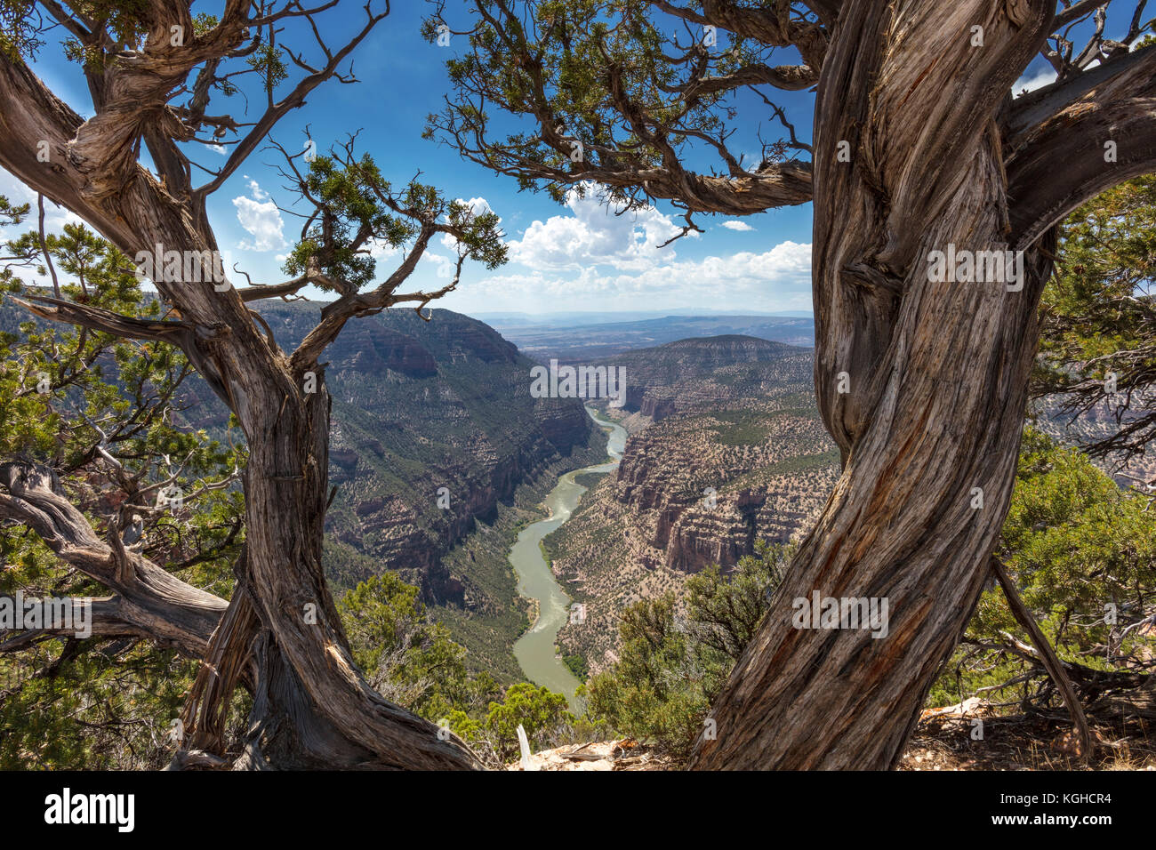 Green River Cutting through Geology of Dinosaur National Monument, Colorado and ageless cedar tree! - Stock Image
