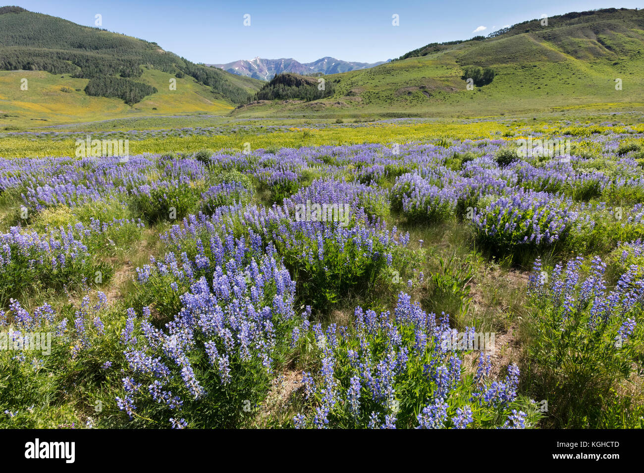 Field of Lupine, Crested Butte, Colorado - Stock Image