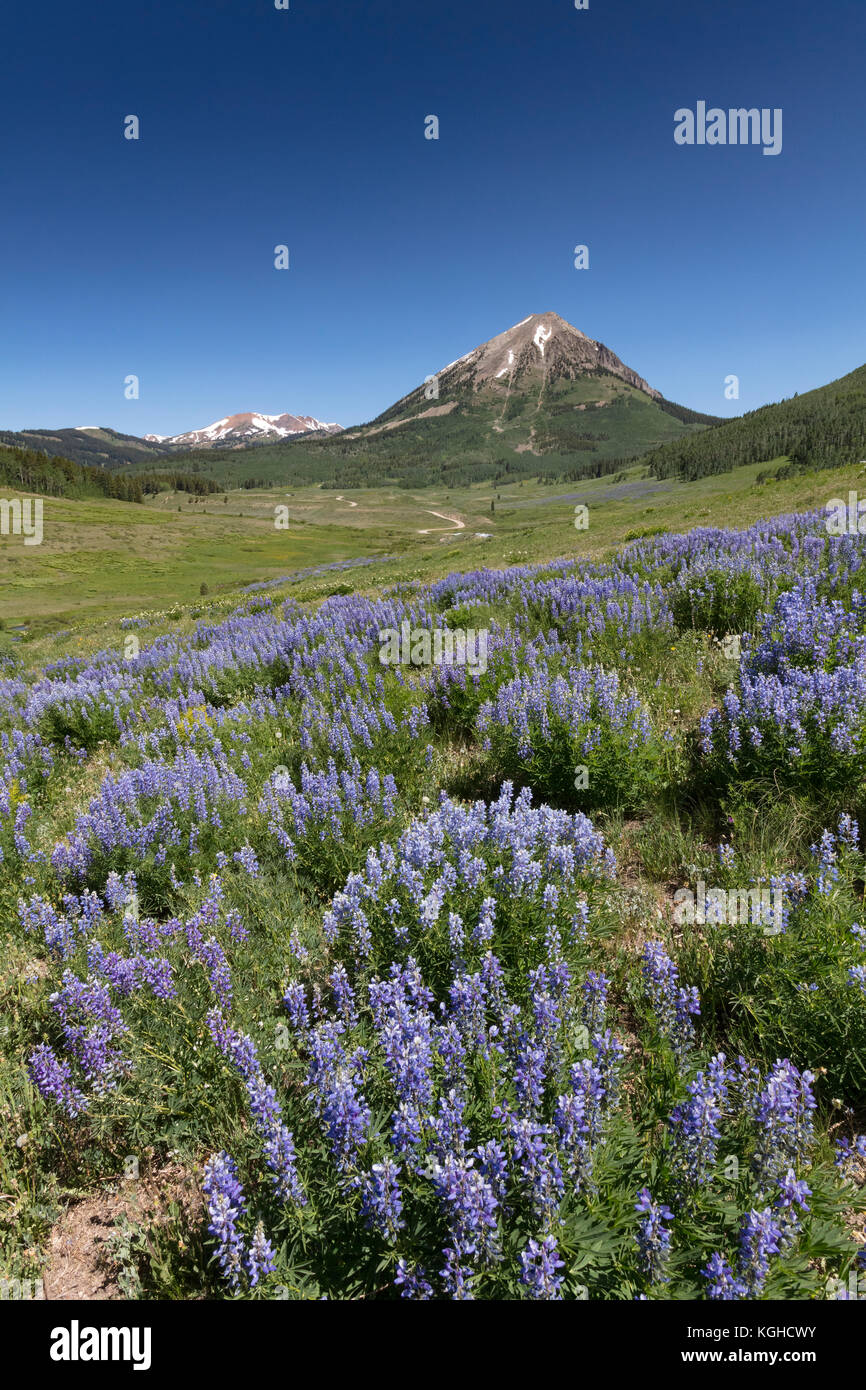 Lupine Meadow, Crested Butte, CO - Stock Image