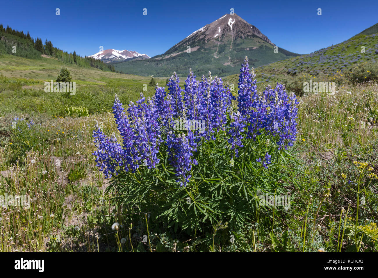 Lupine Wildflower Meadow -  Crested Butte, CO - Stock Image