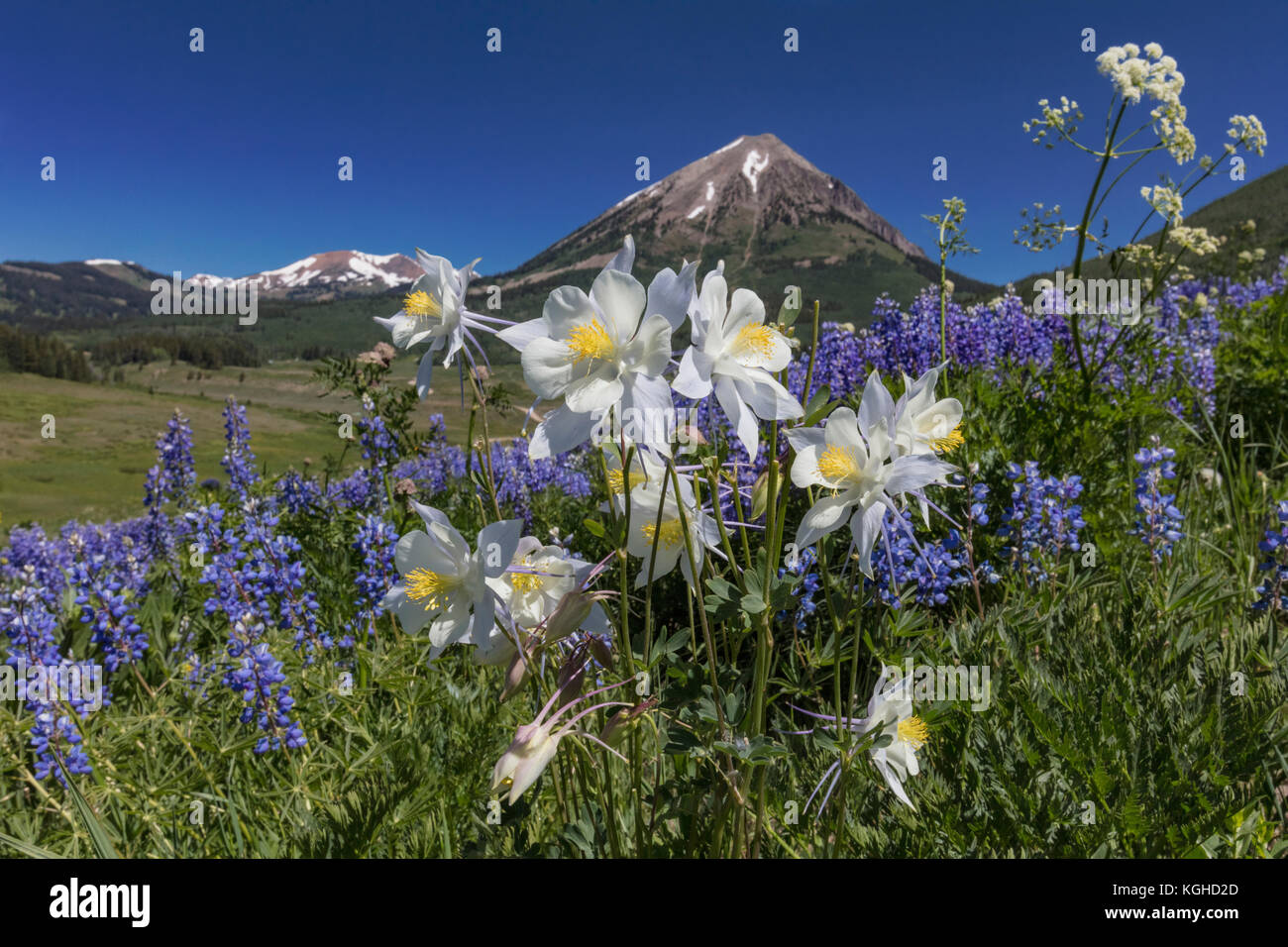 Wildflower Meadow - Purple Lupine & Columbine Crested Butte, CO - Stock Image
