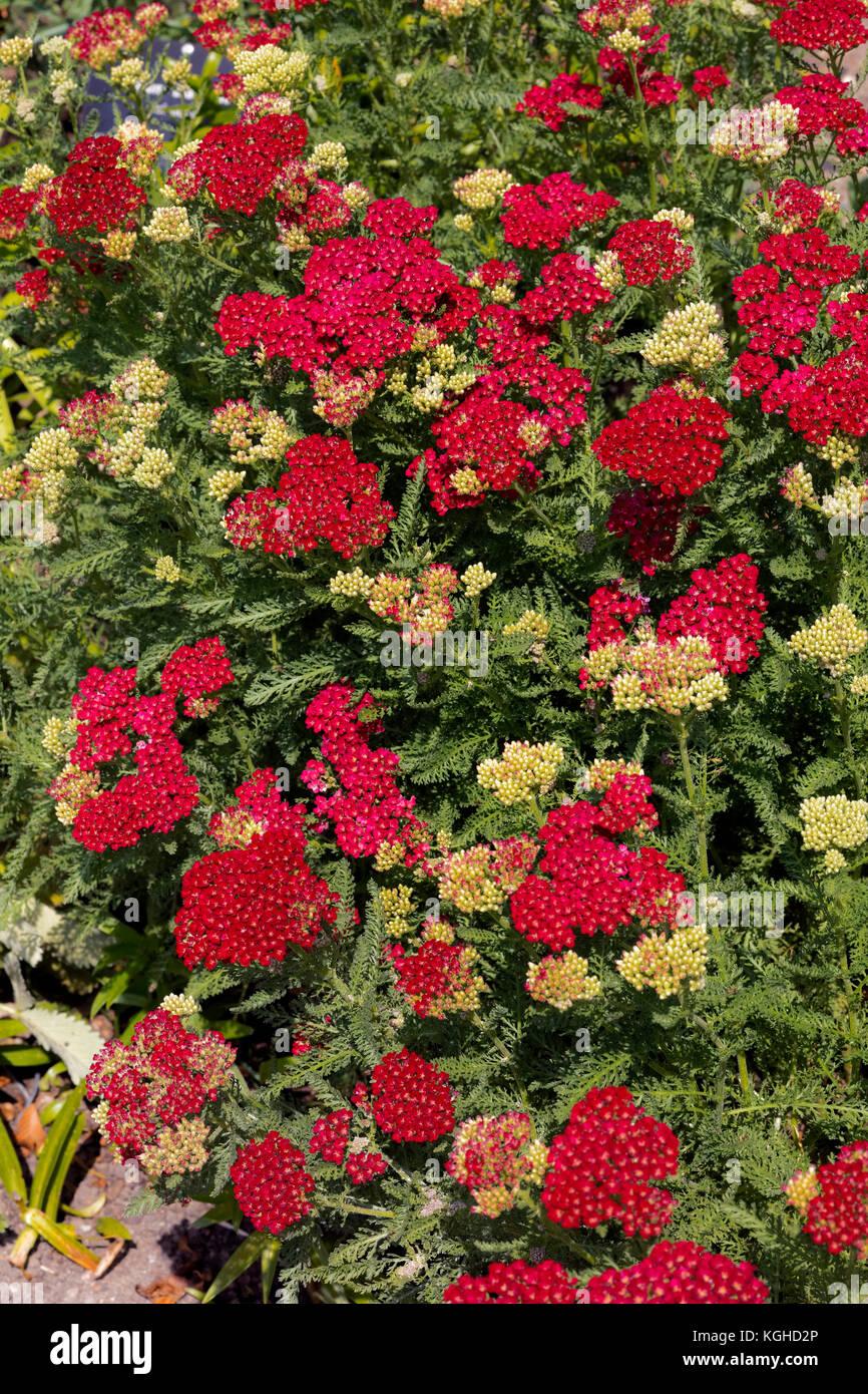Yarrow - Achillea 'Pomegranate' Tutti Frutti Series Aster Family - Stock Image