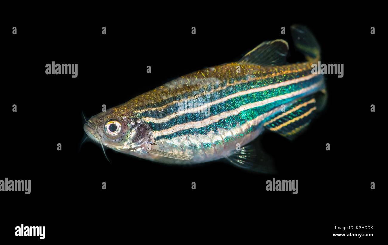 A macro shot of a zebra danio tropical fish. Stock Photo