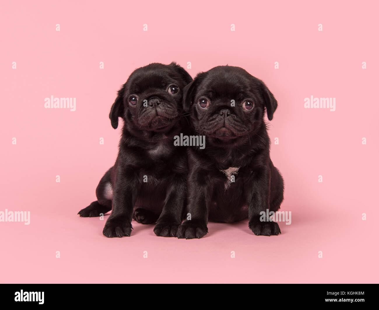 Two cute black pug puppies looking at the camera sitting on a pink background - Stock Image