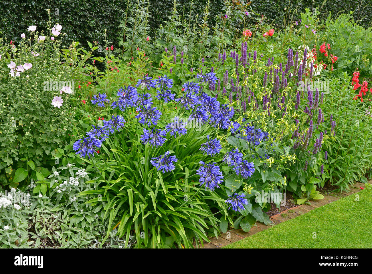 Agapanthus Foglie Gialle veronicastrum stock photos & veronicastrum stock images