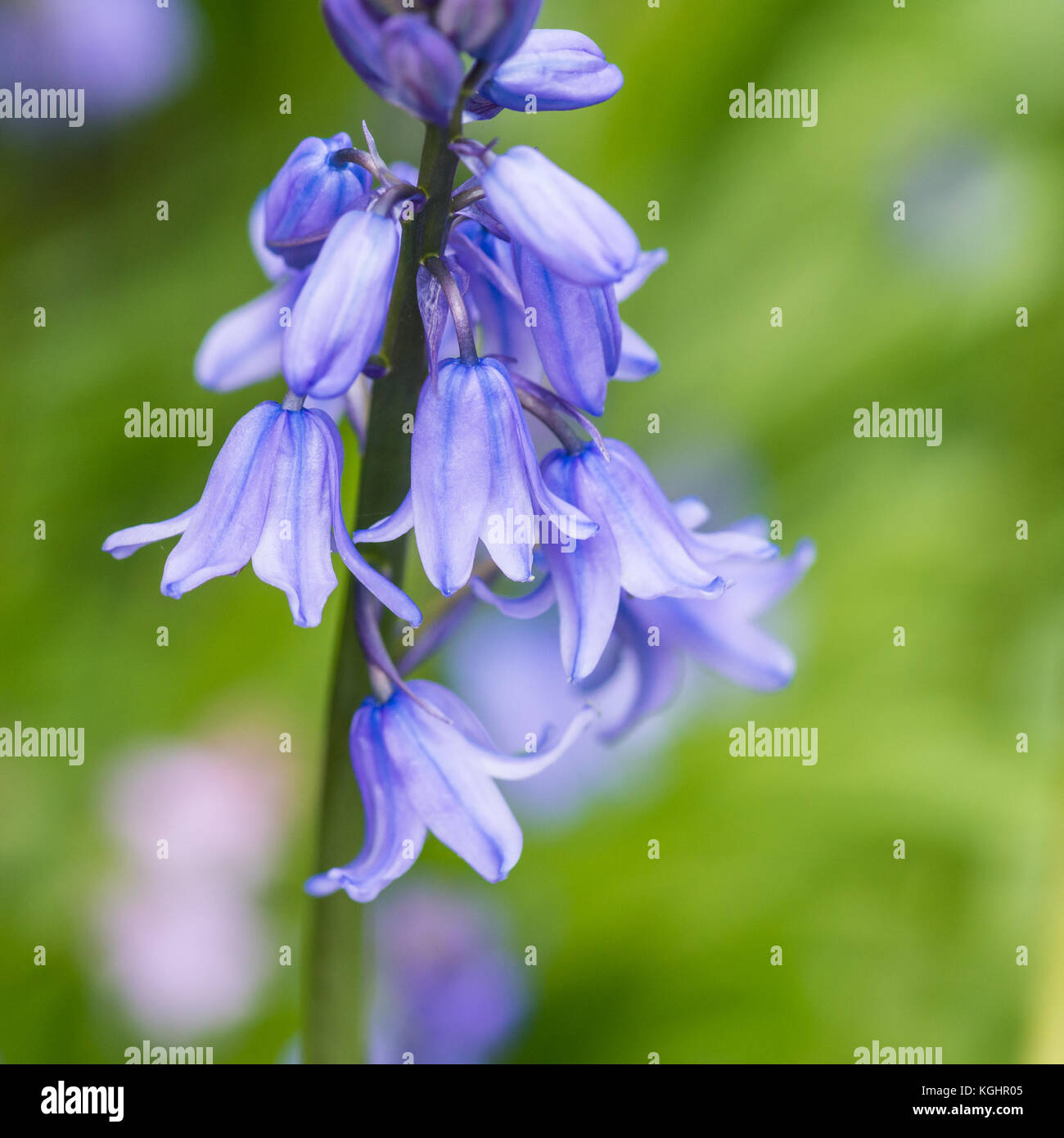 A shot of some spanish bluebell blooms. - Stock Image