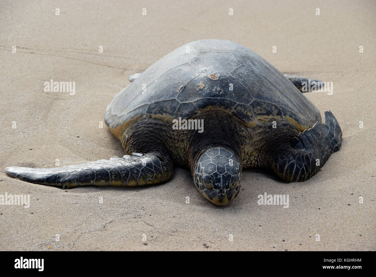 Hawaiian sea turtles on Laniakea Beach, Oahu, Hawaii - Stock Image
