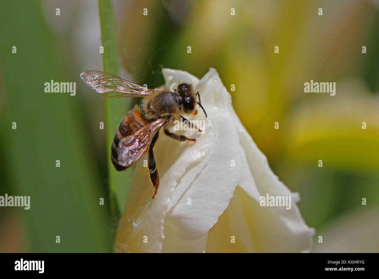 hispanic singles in bee spring A-bee honey  505-286-4843  two queen hive management with package bees  when packages are running $160 each and 4 frame nucs are running $25000 each and singles .