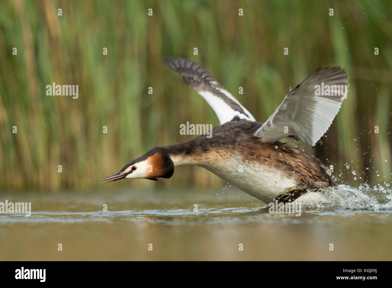 Great Crested Grebe / Haubentaucher ( Podiceps cristatus ) in a hurry, flapping its wings, taking off from a stretch - Stock Image