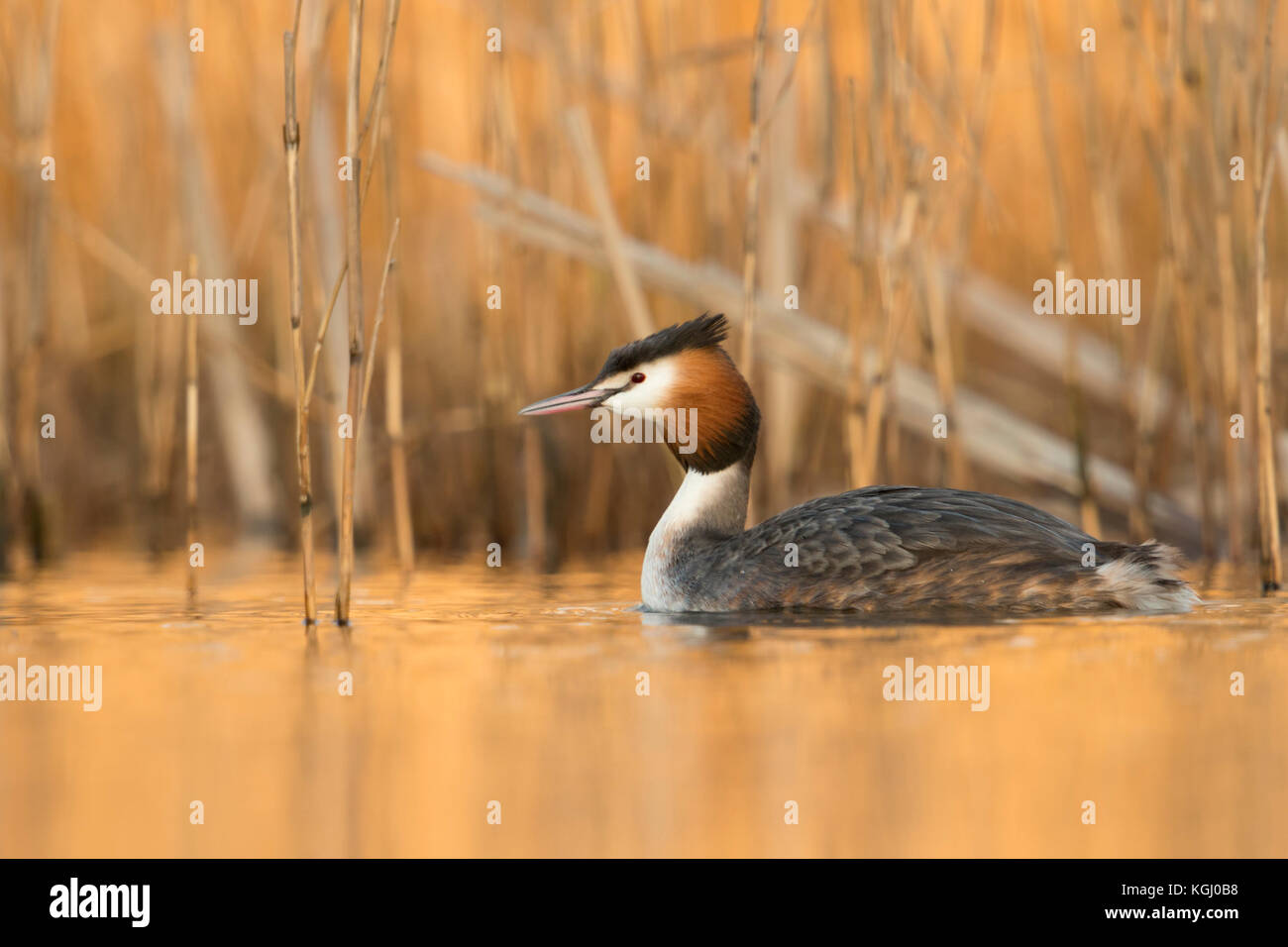 Great Crested Grebe / Haubentaucher ( Podiceps cristatus ) swimming in front of reeds, last daylight reflects from - Stock Image