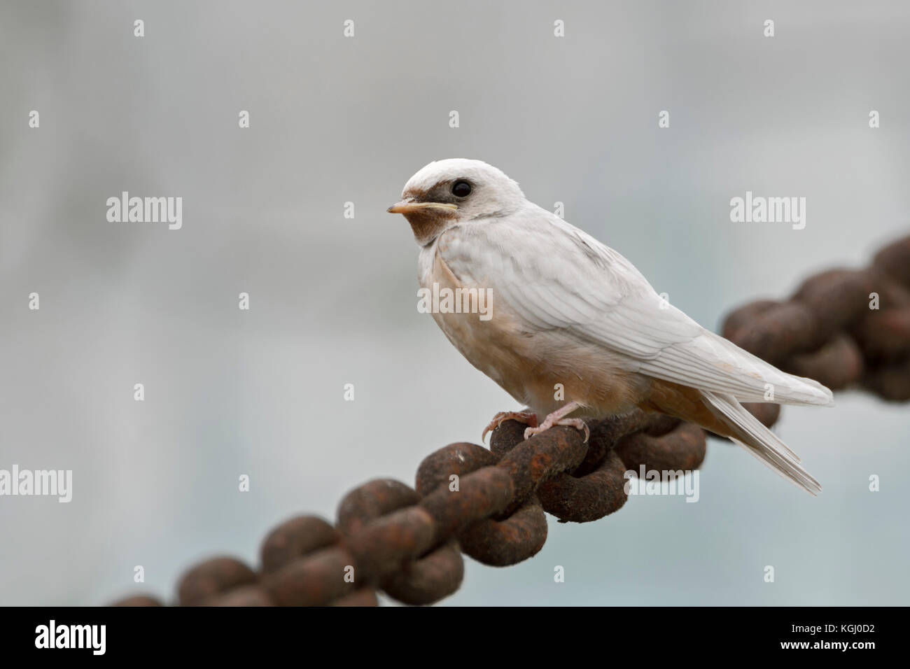 Barn Swallow / Rauchschwalbe ( Hirundo rustica ), just fledged, gene mutation, white plumage, leucistic, leucism, - Stock Image