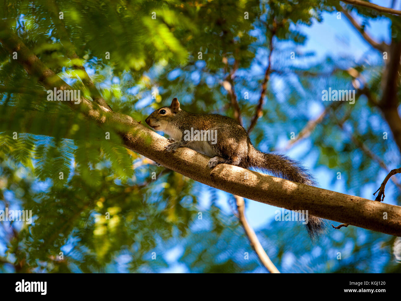 Eastern Grey Squirrel on a branch tree in South Florida, United States. - Stock Image