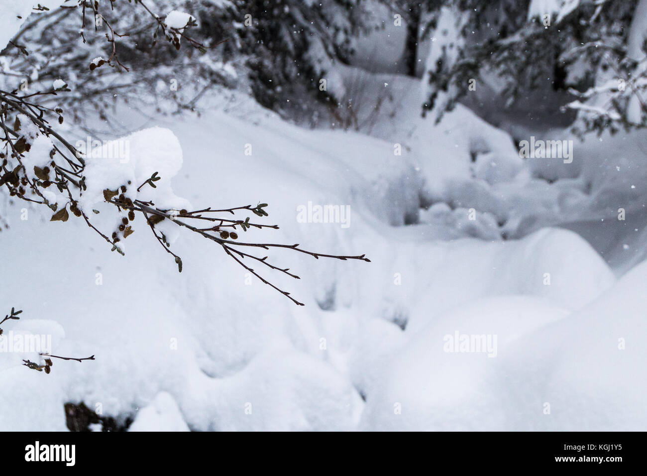 Snow covered branch in a winter forest scene. Les Arcs. Savoie. France - Stock Image
