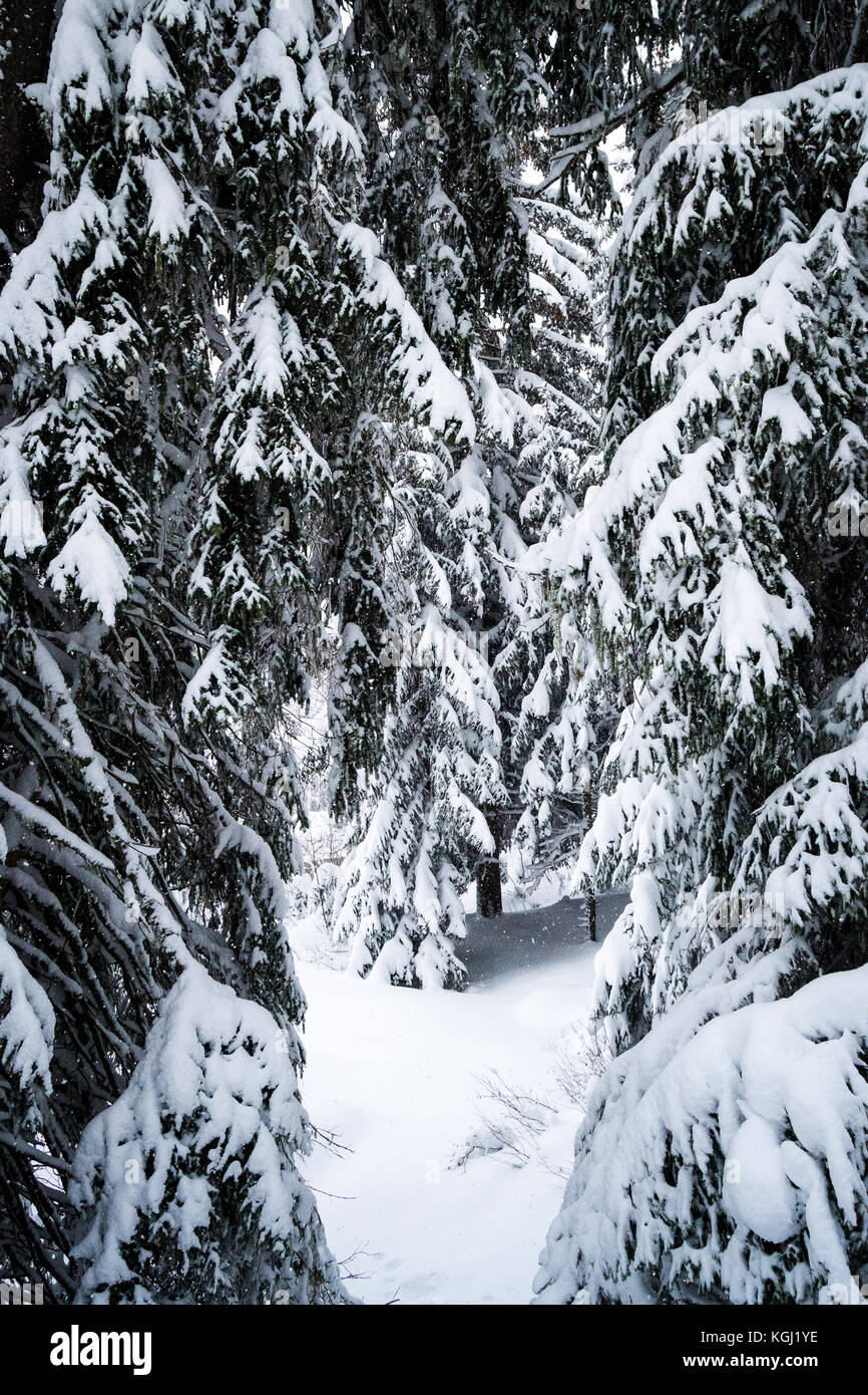 Snow covered pine trees. Les Arcs, Savoie. France - Stock Image