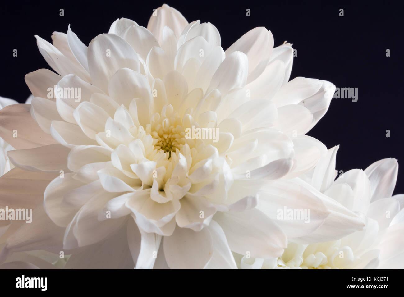 Closeup of white chrysanthemum flower on black background stock closeup of white chrysanthemum flower on black background mightylinksfo