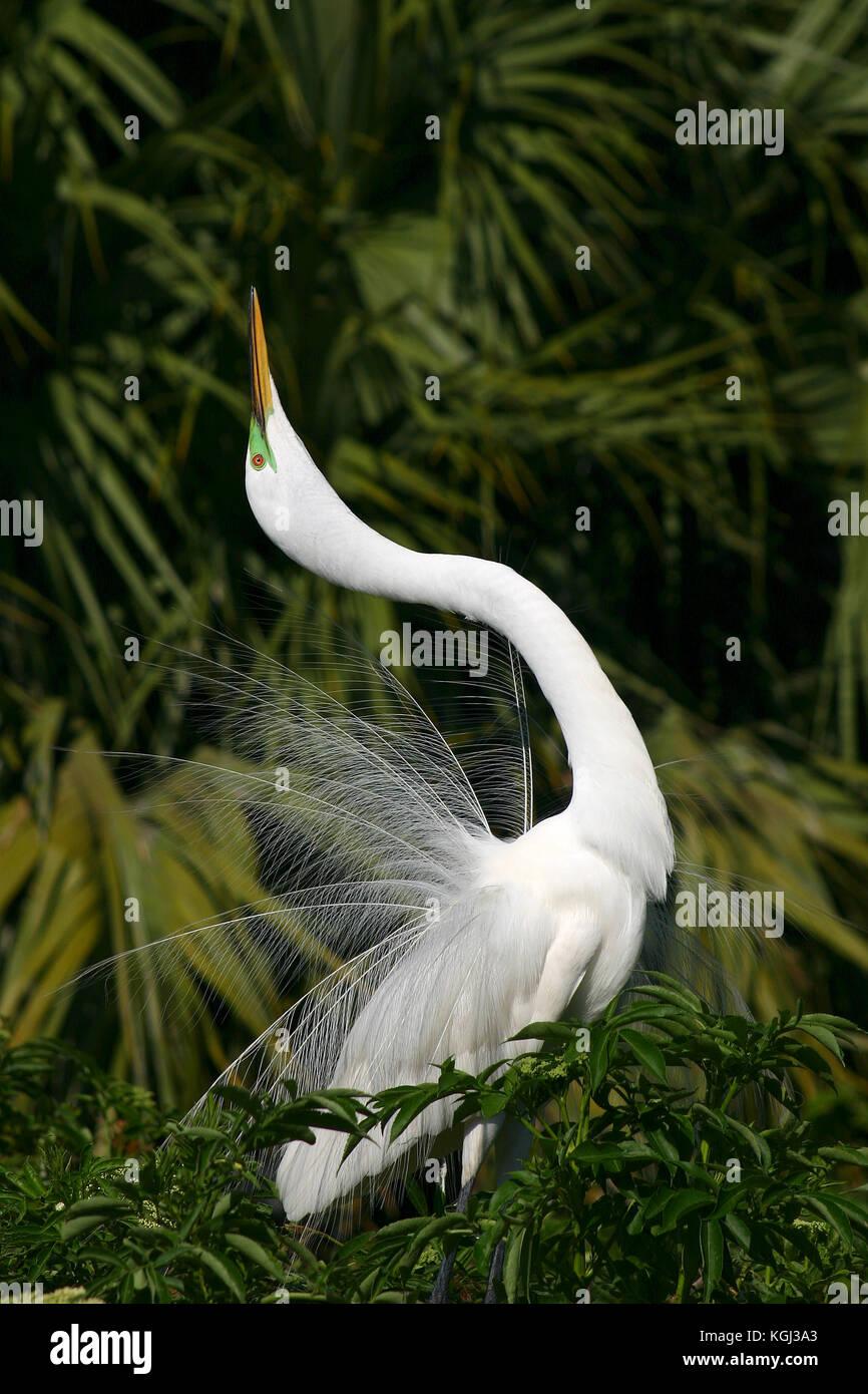 Great Egret, Ardea alba, Courtship display,  Florida Stock Photo