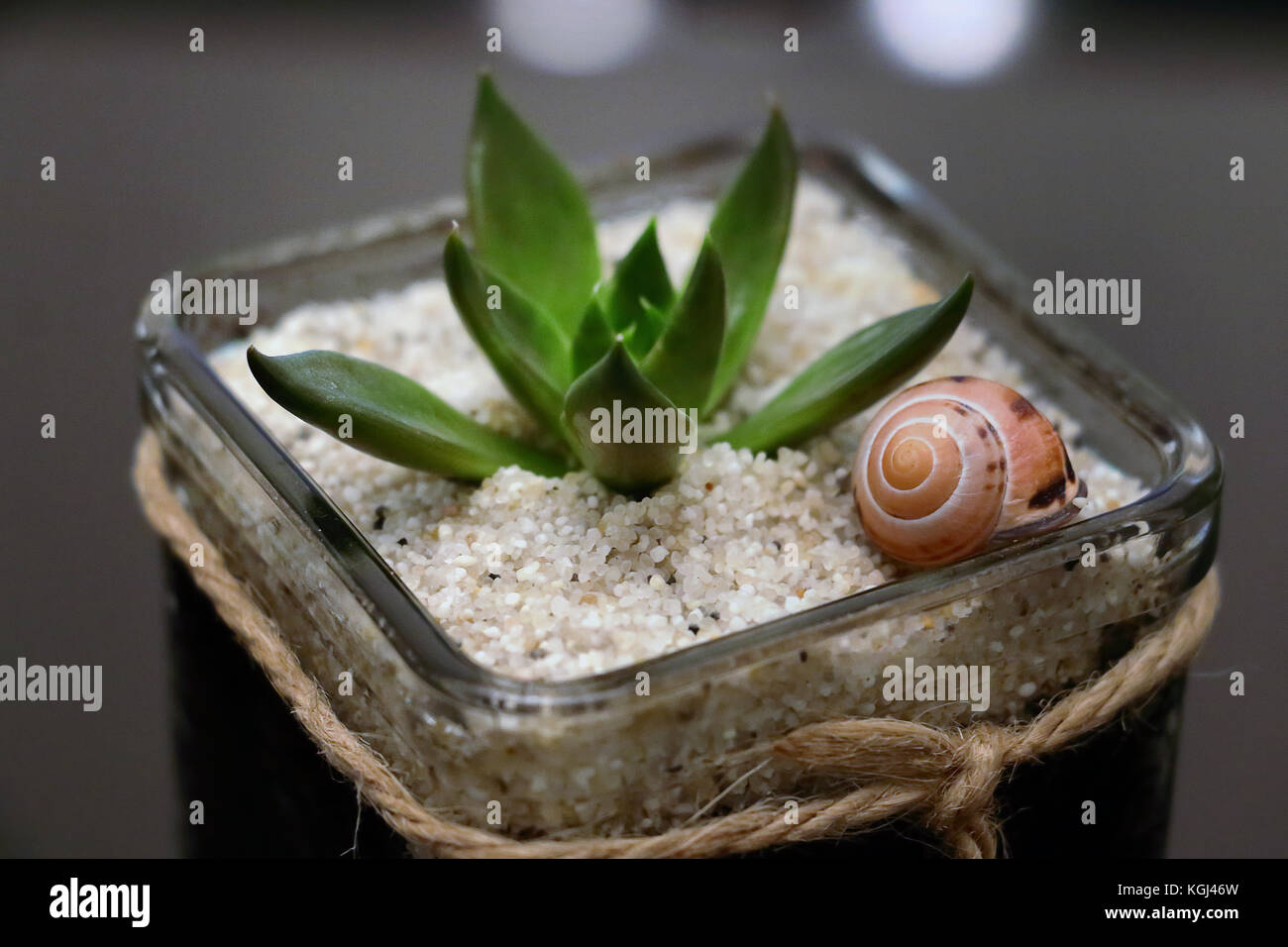 Succulent in pot with sand and a snail shell - Stock Image