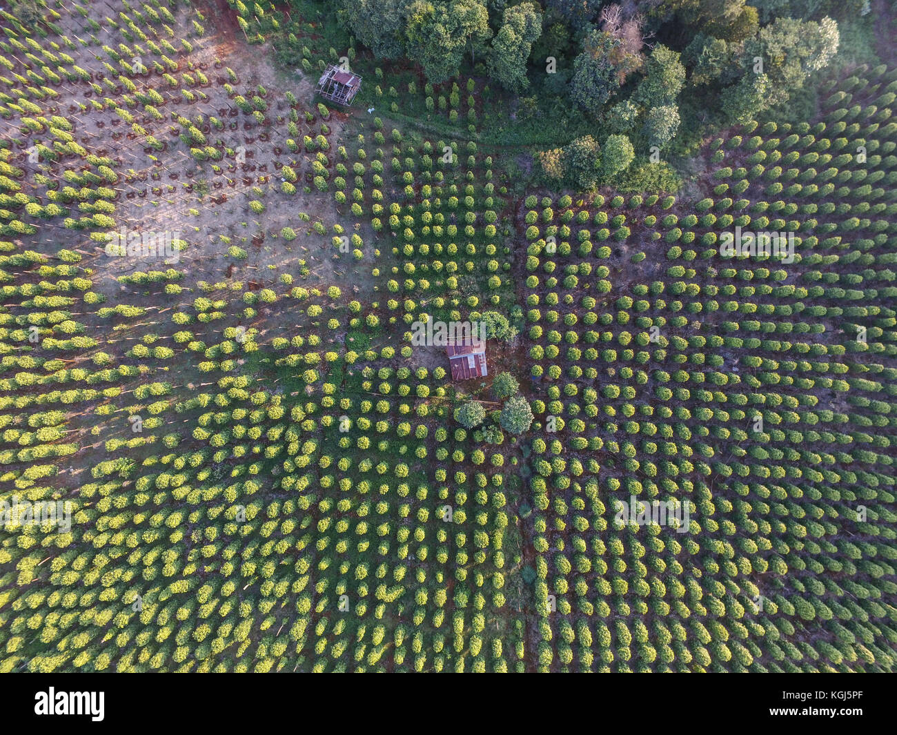 Pepper farm area in the island of Sulawesi Indonesia taken with drone - Stock Image