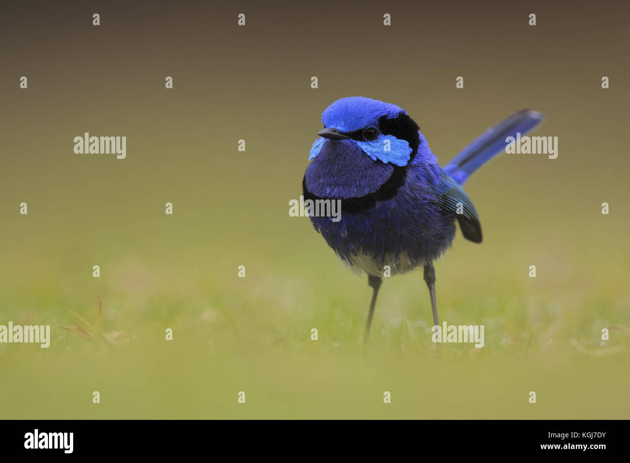 Splendid Fairy-wren - Stock Image