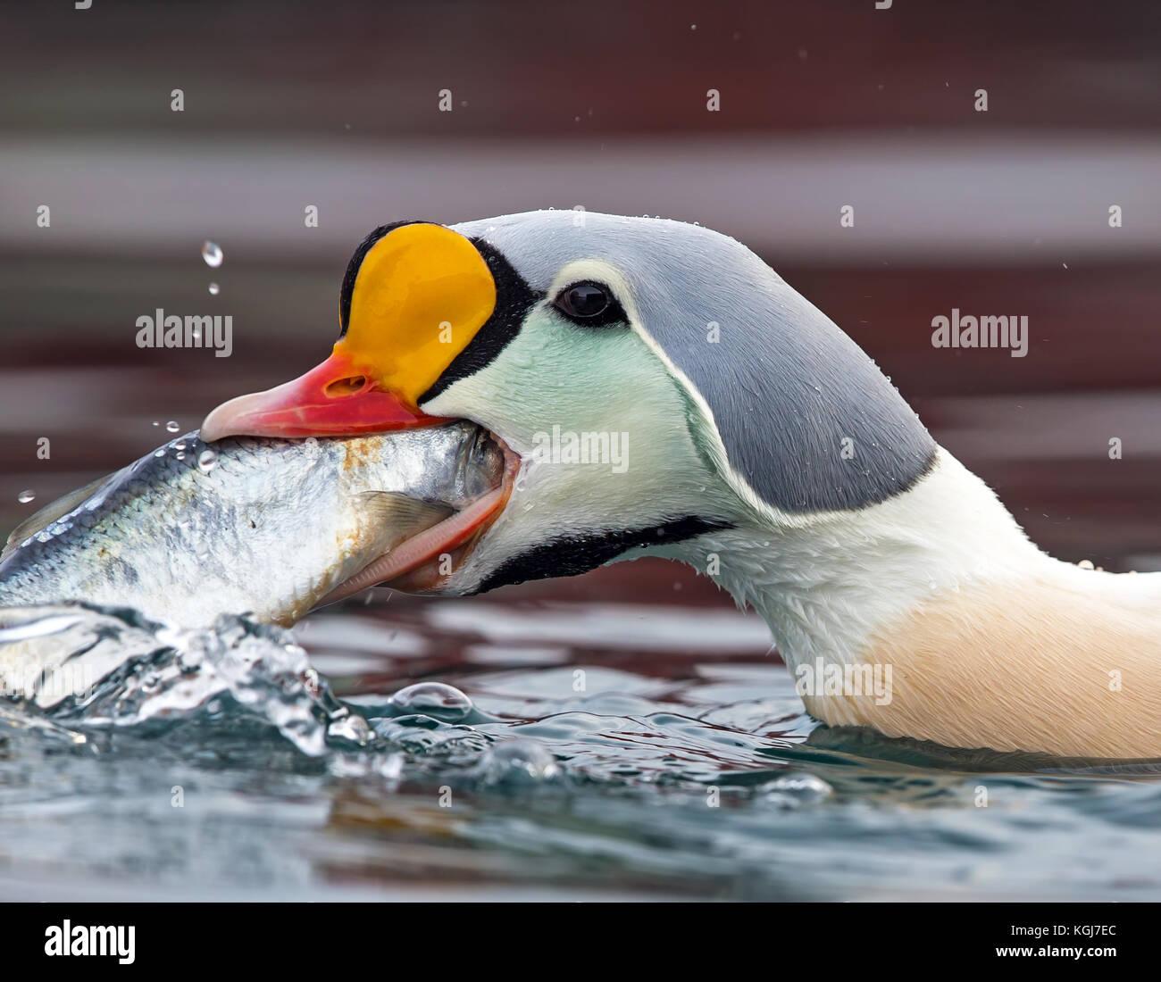 A greedy King Eider feeding on herring in Batsfjord harbor - Stock Image