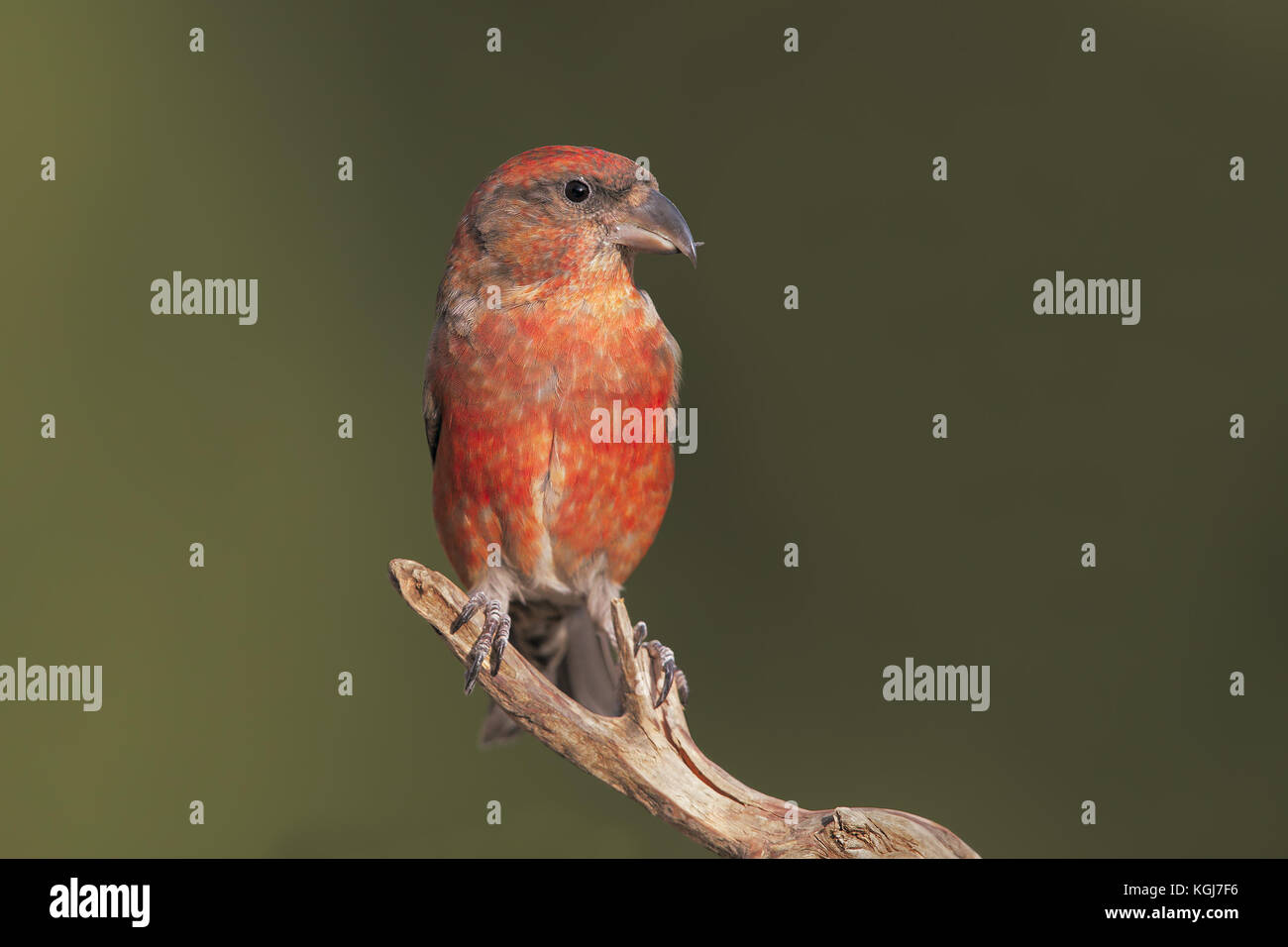 Male Crossbill - Stock Image