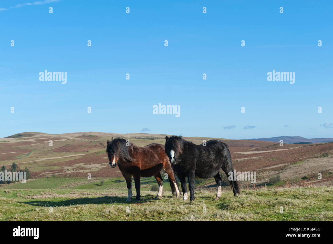 Builth Wells, Powys, Wales, UK. 8th November, 2017. UK Weather. Welsh ponies are seen warming up in the sun under - Stock Image