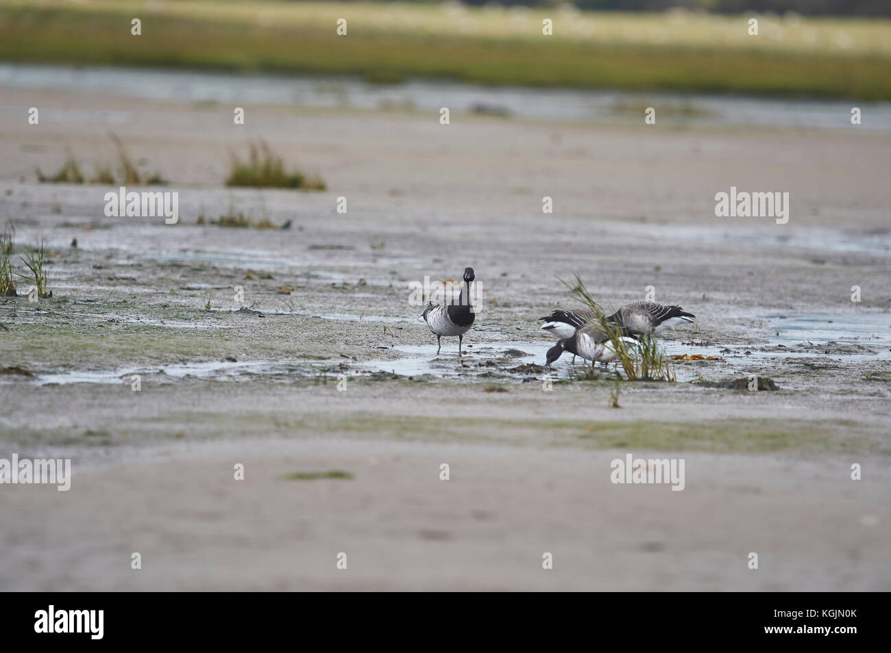 Brent or Brant Geese Branta bernicla feeding on the tidal mudflats near Holy Island Lindisfarne on the North East - Stock Image