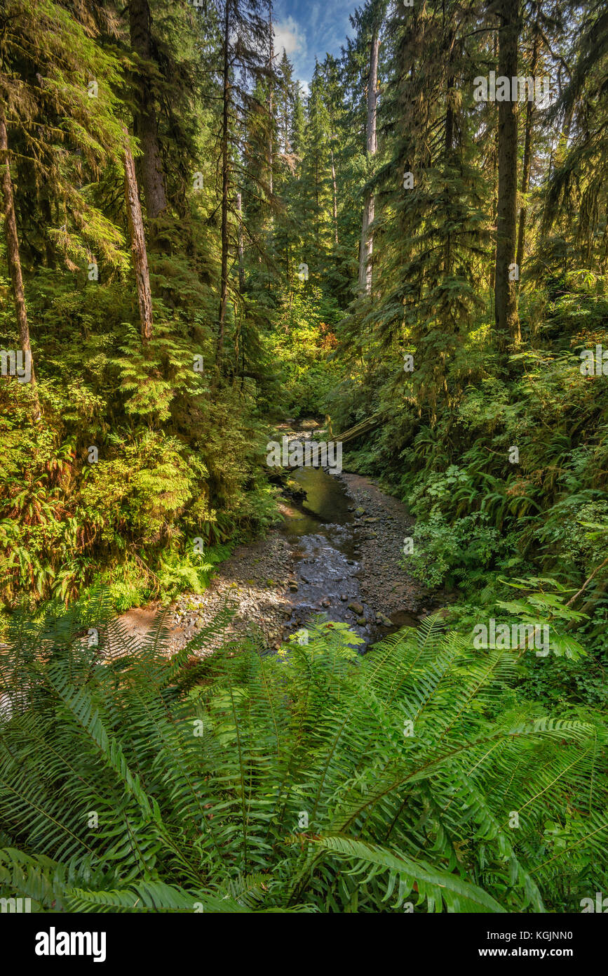 Ferns over Willaby Creek, Rain Forest Nature Trail, Quinault Valley, Olympic National Forest, Washington state, - Stock Image
