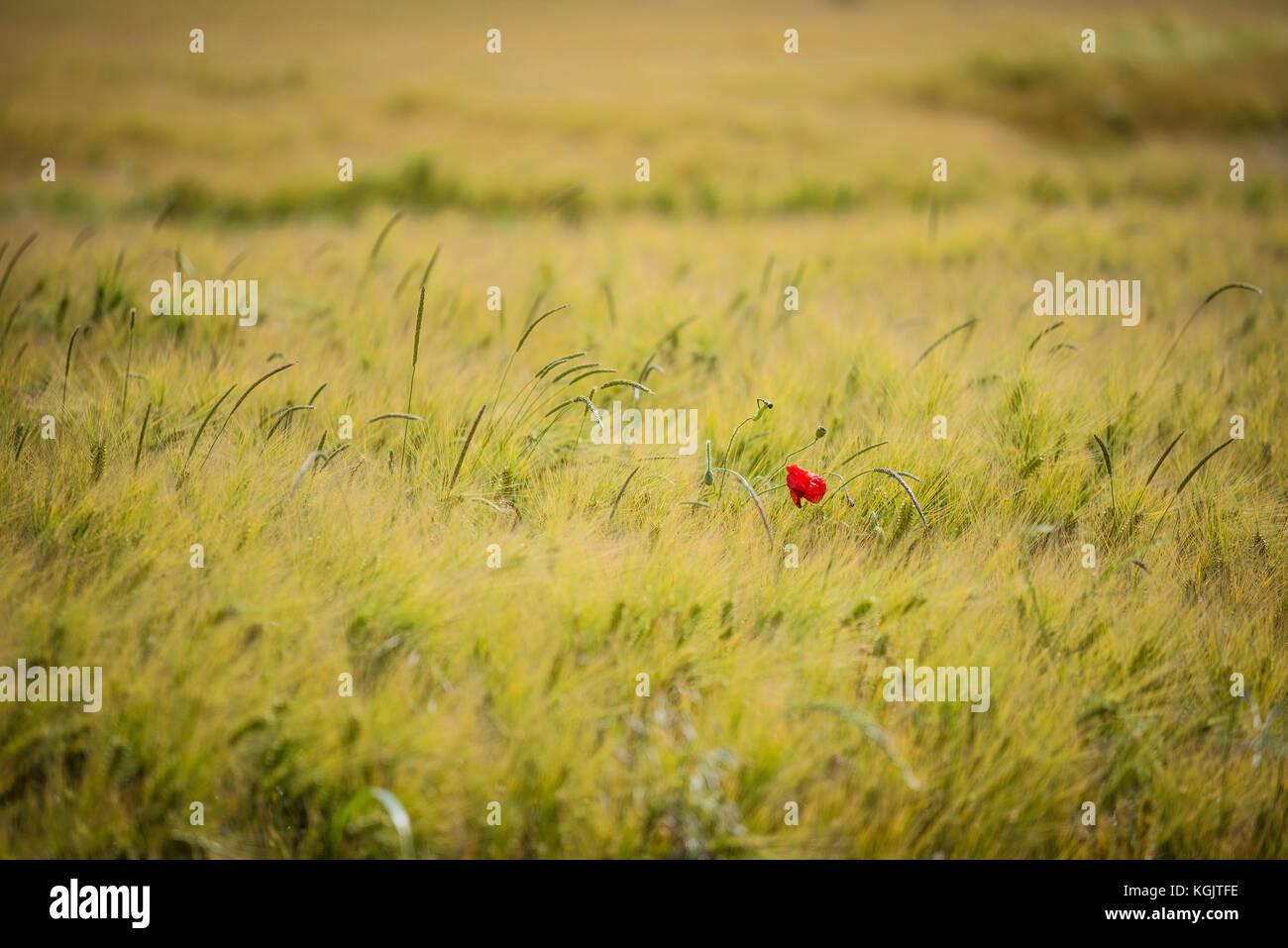 Single red poppy in a field. Stock Photo