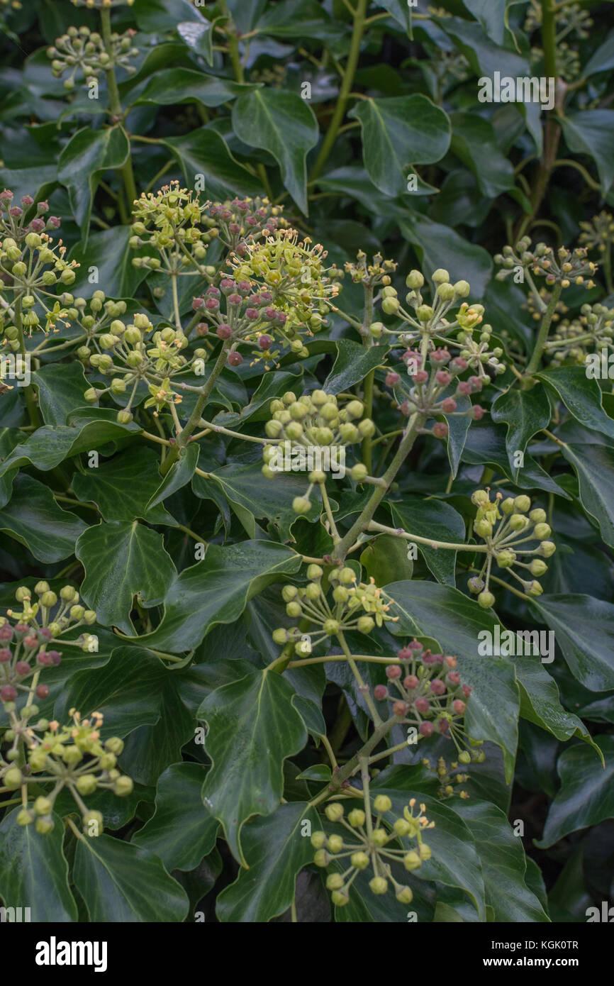 Kgk Gardening Landscape: Ivy Flowers Stock Photos & Ivy Flowers Stock Images