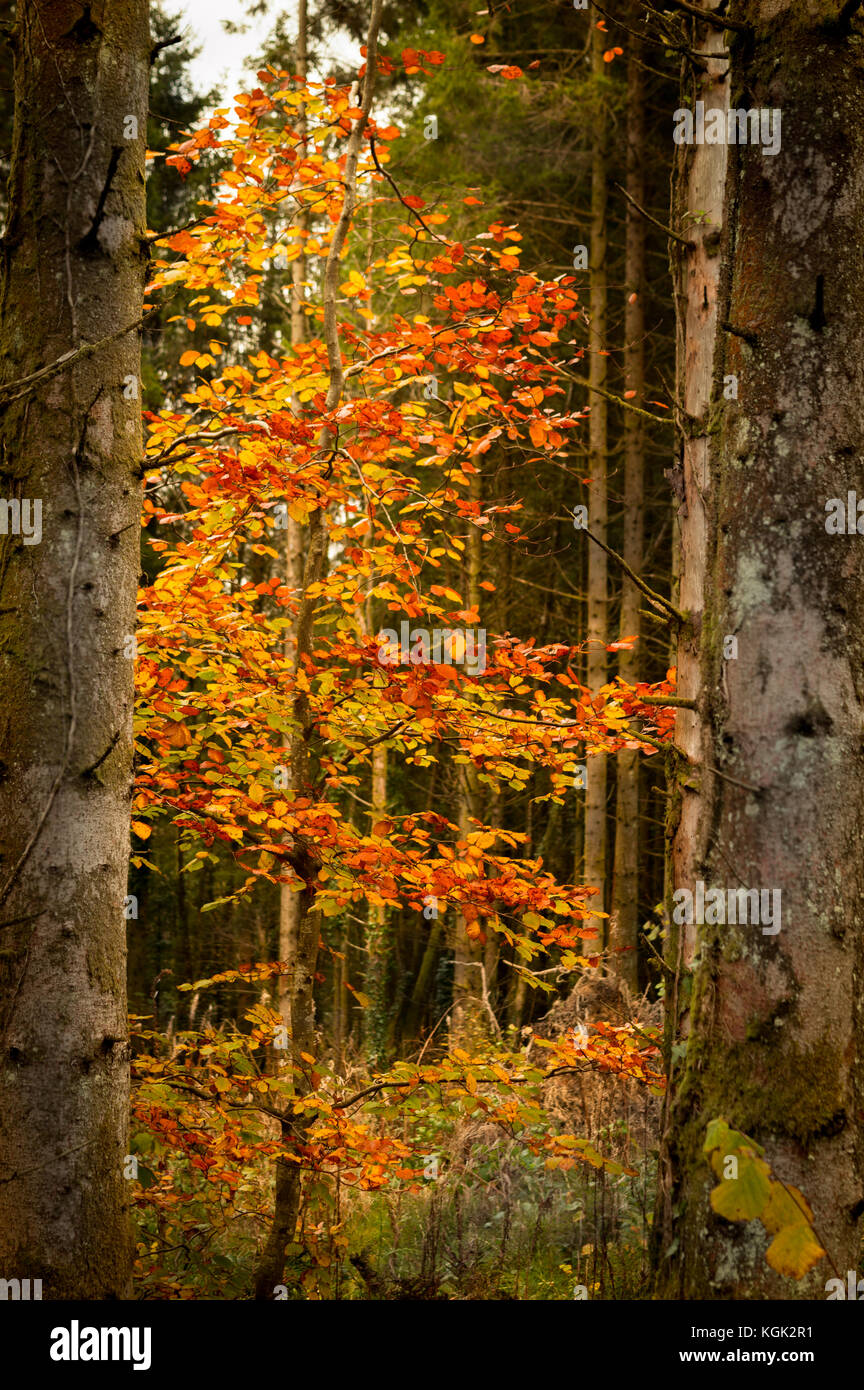 Lonely tree of live in a dark woodland in west wales at Ffynnone falls - Stock Image