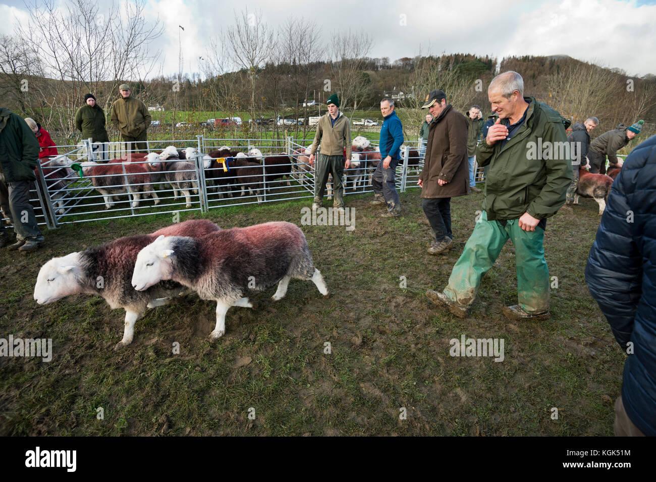 Herdwick sheep being judged, Walna Scar Shepherds Meet, Torver, Cumbria, UK. - Stock Image