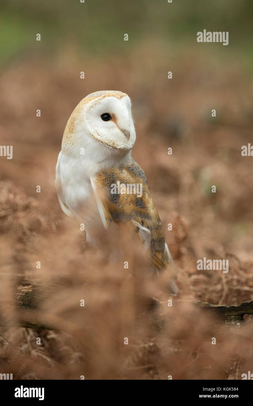Barn Owl; Tyto alba Single in Bracken Cornwall; UK - Stock Image